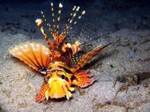 Lionfish in the dark
