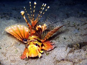 Lionfish in the dark