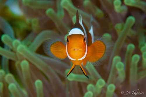 The clown fish has been internationally renamed 'Nemo', but every time I hear someone gush about Nemos I chuckle about the Darwin fish and chip shop, Frying Nemo.