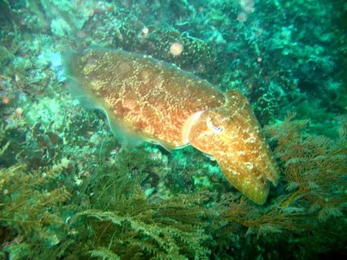 Chriswan snapped a giant cuttlefish in the Gilis.
