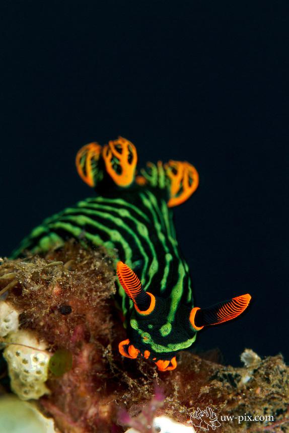 Nembrotha-kubaryana-nudibranch-Bali
