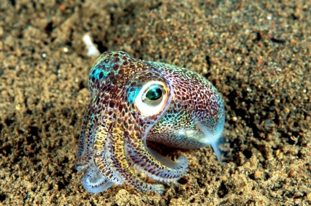 Does it get any cuter than a bobtail squid? otlibrary.com