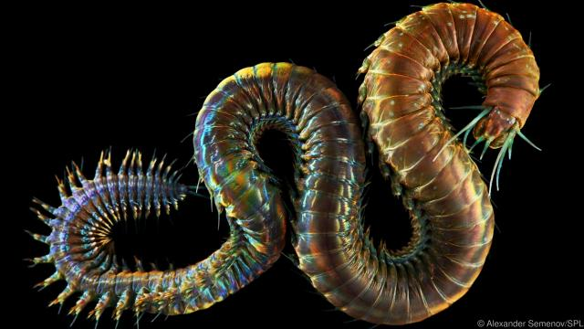 Ragworm (Nereis pelagica). This is a marine polychaete, a class of annelid (segmented) worms. Each segment has a pair of fleshy un-jointed limb-like appendages (parapodia) which aid in locomotion and act as external gills.